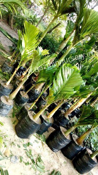 Dwarf Arecanut plants