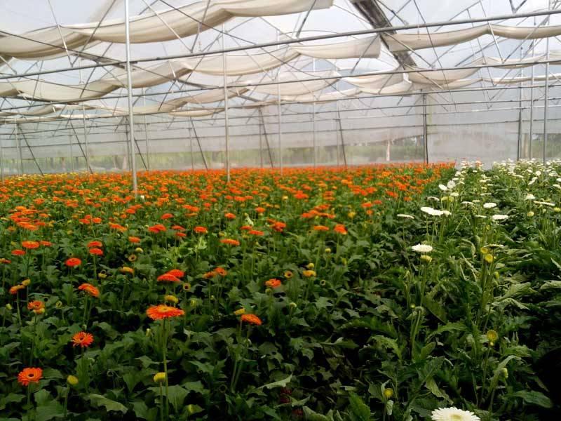 Gerbera Plant's