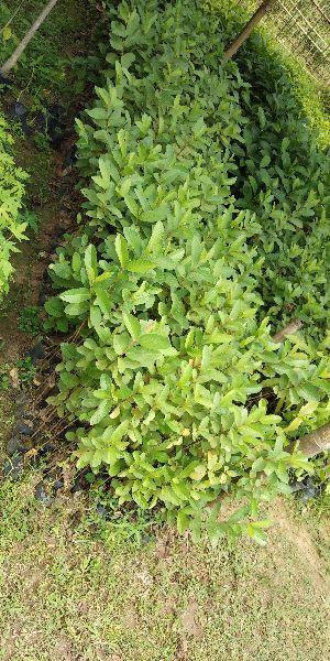 Guava L-49 Seedling