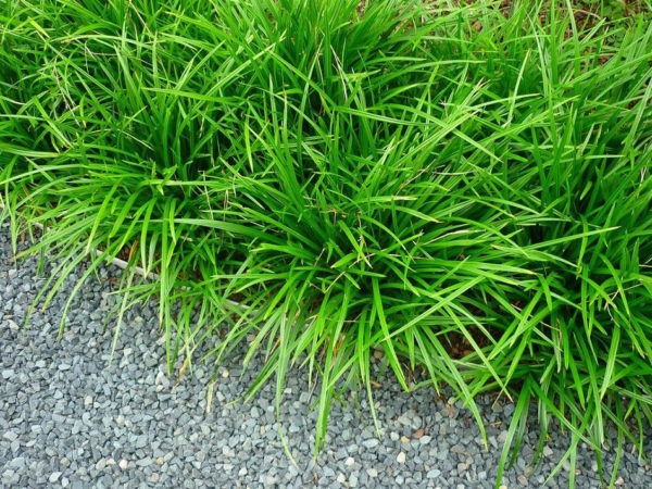 Japanese grass sedge