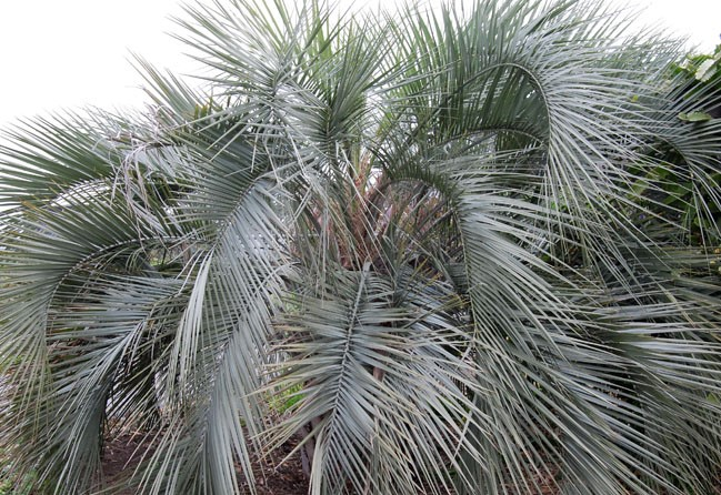 JELLY PALM Plant