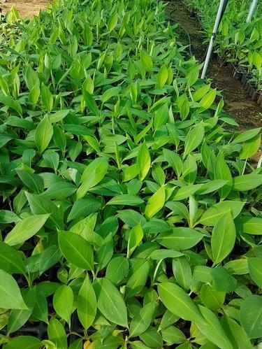 Monthan Banana Plant