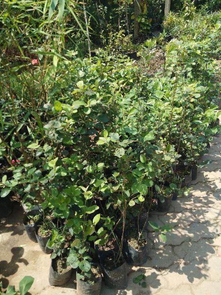 Taiwan Apple Fruit Plant