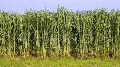Bajra Grass Seeds