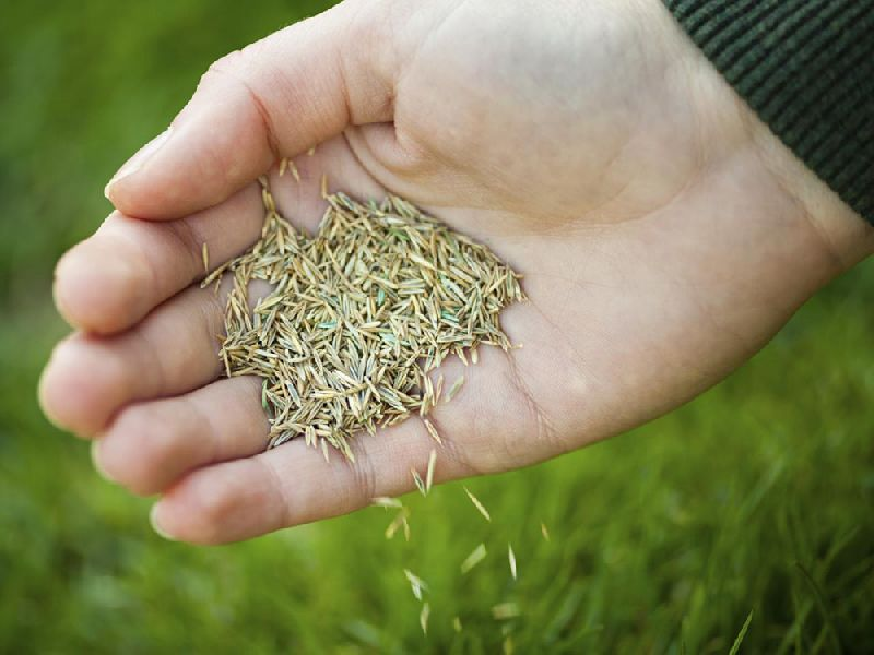Cow Grass Seeds