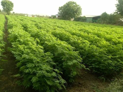 Dashrath Grass Seeds