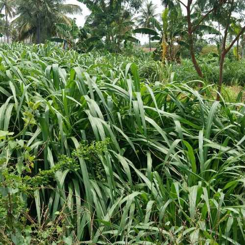 Jinjwa Grass Seeds