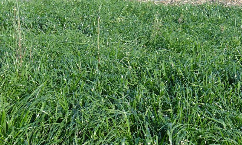 Makhan Grass Seeds