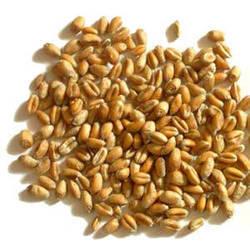 Moti Sona Wheat Seeds