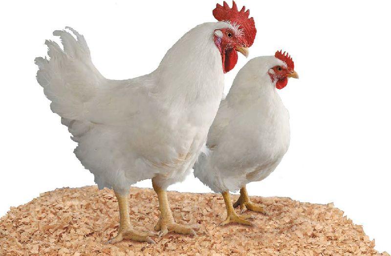 Cobb 500 Broiler Chicken