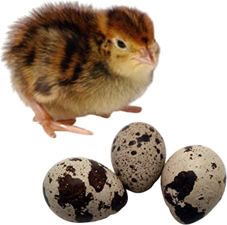 Quail Fertile Eggs
