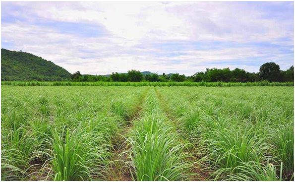 Lemongrass Contract Farming Services