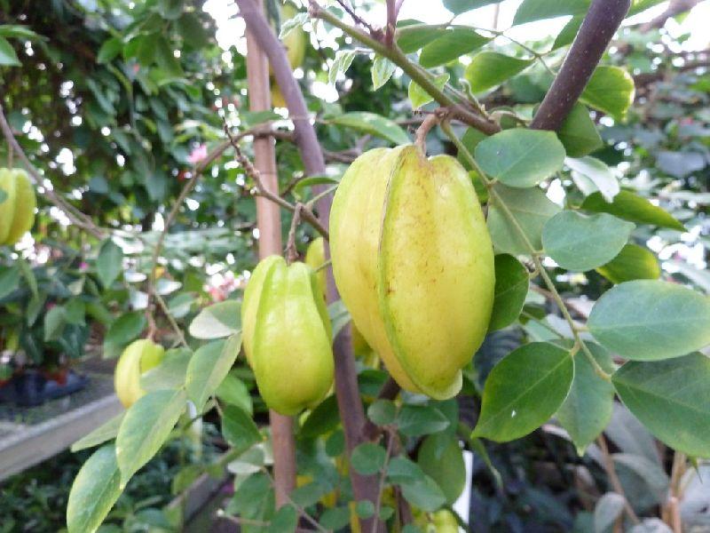 Dwarf Star Fruit Plant