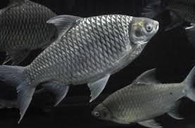 Black Tinfoil Barb Fish Seeds