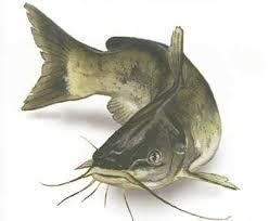 Heteropneustes Fossil Fish Seeds