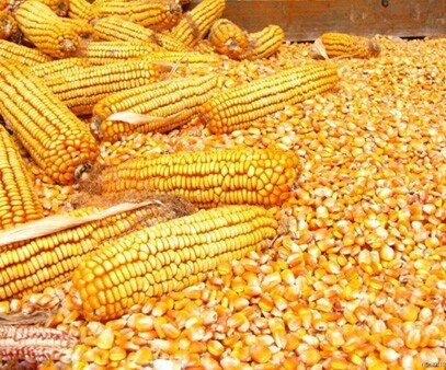 Whole Dried Corn