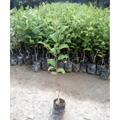 Apple Ber Plant