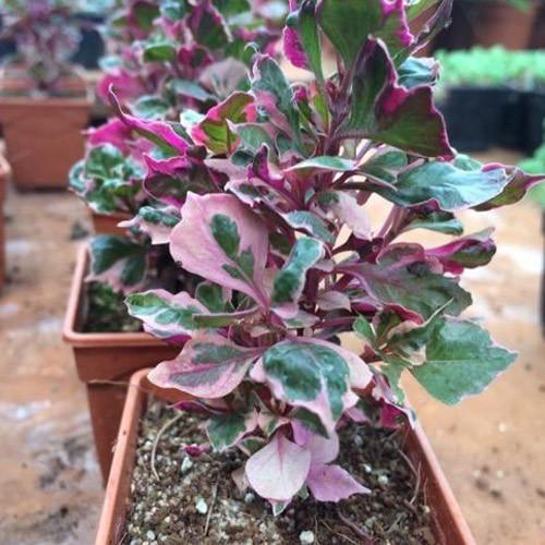 Alternanthera Plant