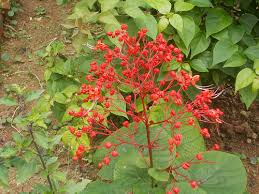 Clerodendrum Plant
