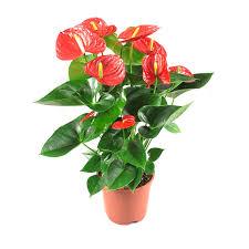 Flamingo Flower Plant