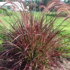 Fountain Grass Plant