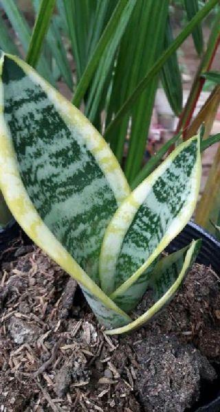 Dwarf Snake Plant(Golden Sanseveria