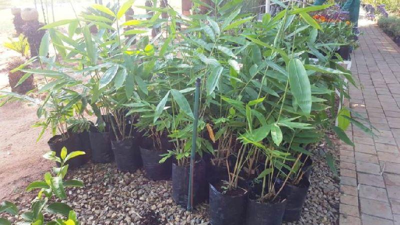 Gracilis (Bambusa Textiles Gracilis) Plant