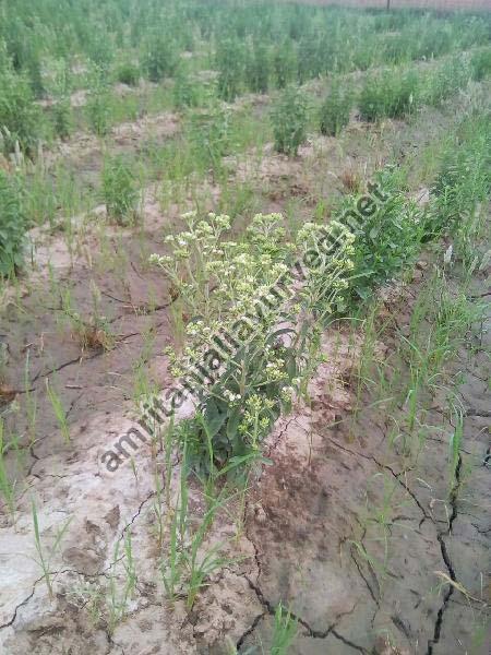 Stevia Plant 01