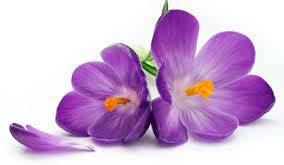 Dried Saffron Flower