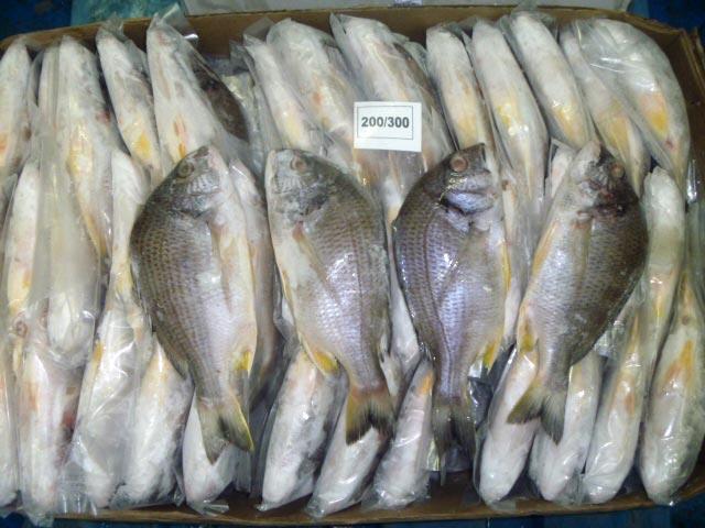 Black Sea Bream Fish