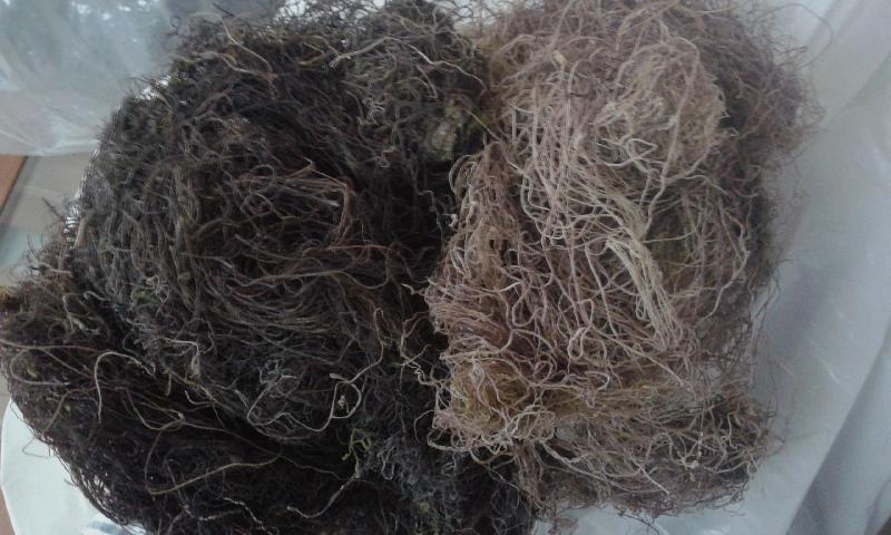 Gracilaria Seaweed 02