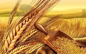 Wheat Seed 01