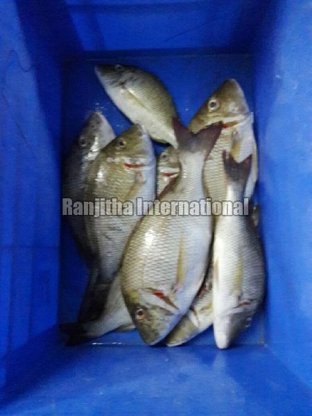 Fresh -chilled Emperor Fish