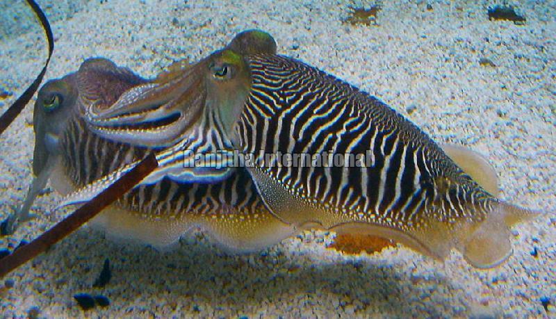 Fresh - Chilled - Frozen Cuttlefish