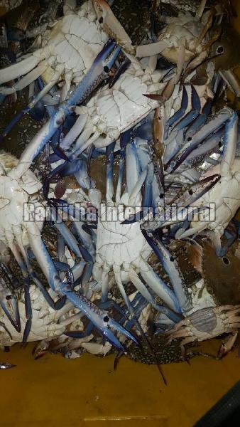 Fresh - chilled  Blue Swimmer Crab