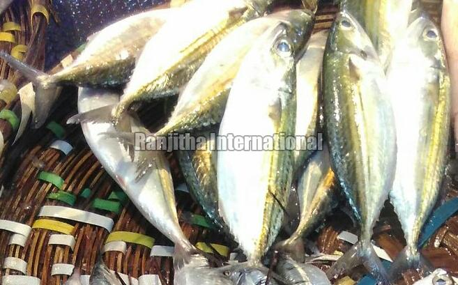 Frozen Indian Mackerel