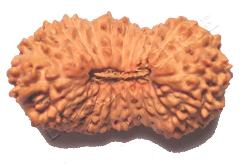 19 Mukhi Java Rudraksha Beads