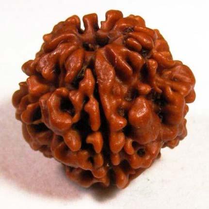 2 Mukhi Nepali Rudraksha Beads
