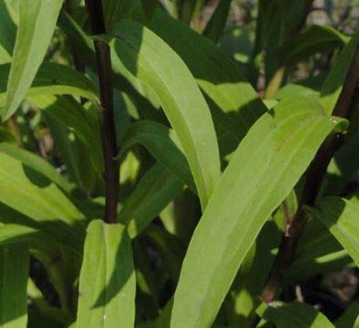 Digitalis Lanata Leaves