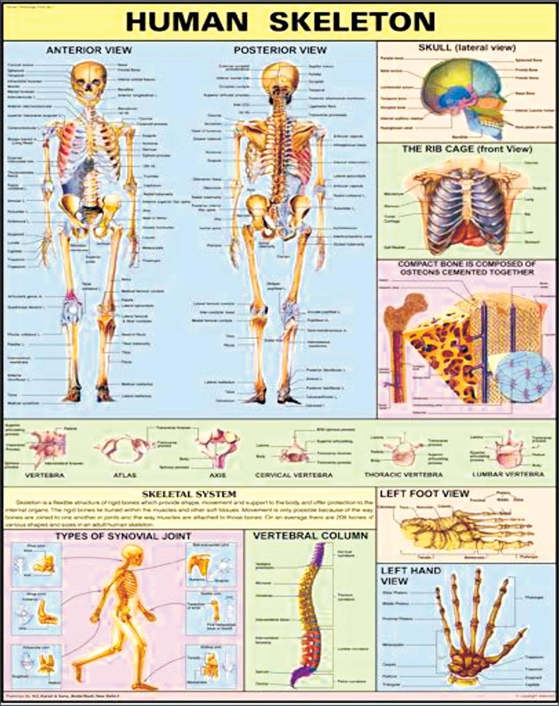 30x40 Human Skeleton Charts