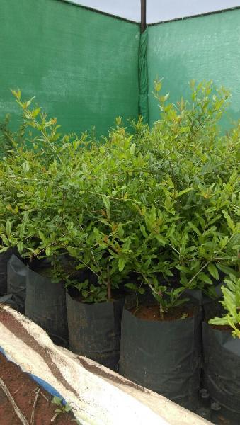 Pomegranate Plant 01