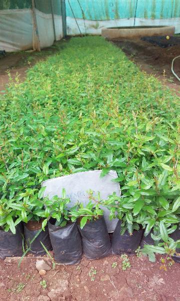 Pomegranate Plant 02