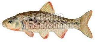 Frozen Common Fish