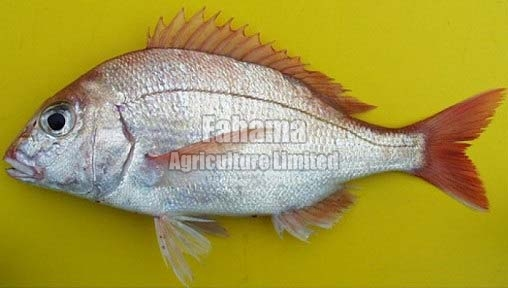 Pangasius Boneless Fish
