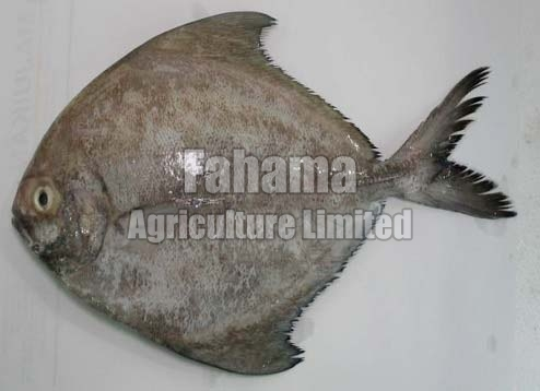Frozen Rupchanda Fish