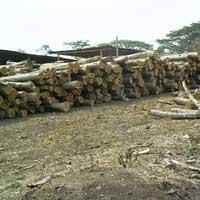 Ivory Coast Teak Wood - 04