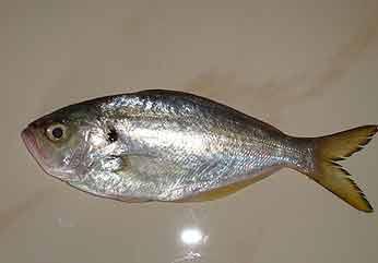 Frozen Parava Fish