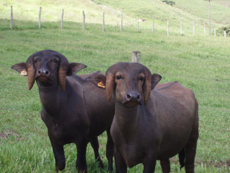 Jafarabadi Buffalo 02