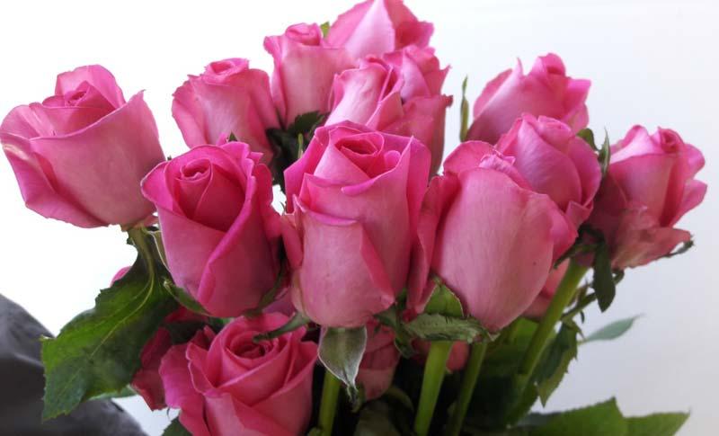 bonear rose flower,bonear rose,bonear pink rose exporters