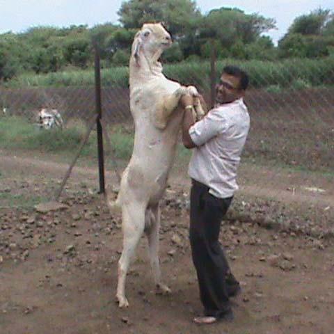 Sojat Buck,Sojat Goat,Sojat Breed Goat Suppliers in Maharashtra